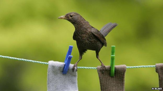 Blackbird (c) Nigel Blake
