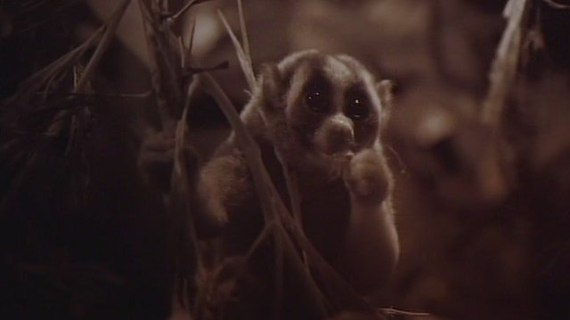 Clip from of slow loris from BBC programme Jungle Gremlins of Java