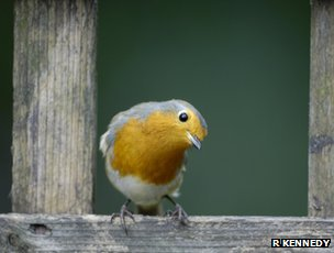 Robin (c) Ray Kennedy