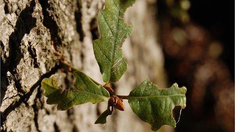 Oak shoot (Image: BBC)
