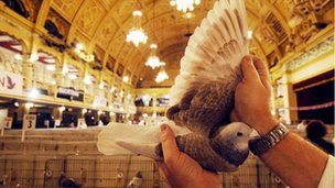 Pigeon on show at the Winter Gardens