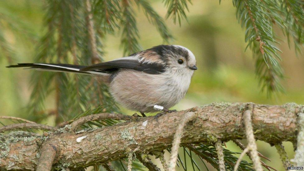how long do garden birds live uk. Black Bedroom Furniture Sets. Home Design Ideas