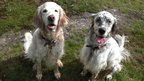 English Setters. Photo: Gillian Spanswick