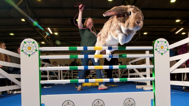 Rabbit jumping over a hurdle