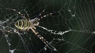 Argiope bruennichi spider in web (c) Francesco Tomasinelli & Emanuele Biggi