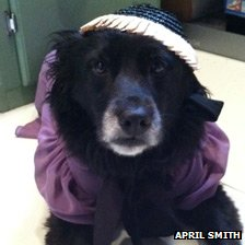 Scout the dog plays Downton dress-up in New Jersey