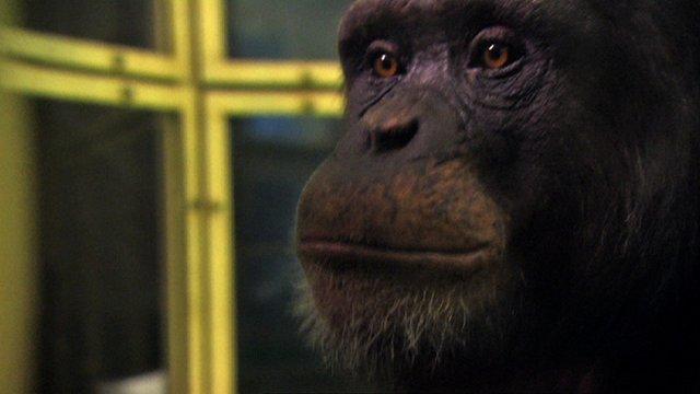 Ayumu the chimp (c) BBC