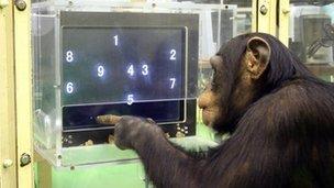 Ayumu the chimp completes a computer game (c) BBC/Professor Tetsuro Matsuzawa