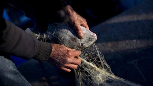 A fisherman untangles a fish from his net