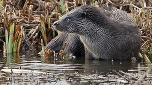 Otter at Minsmere