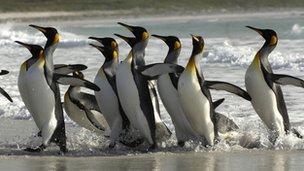 King penguins on the Falklands