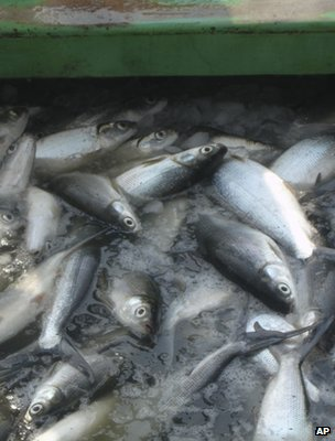 Fish being processed (Image: AP)
