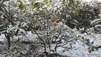 Snow on plants in the Mediterranean island of Mallorca. Photo: Alan Groom