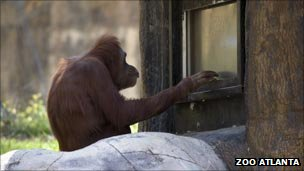 "Orangutan at Zoo Atlanta uses the ""learning tree"""