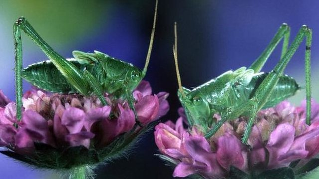 Bush crickets (c) Meul/Arco/Naturepl.com