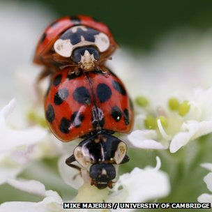 Harlequin ladybirds mating