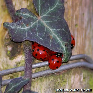 Seven-spotted ladybirds over-wintering