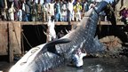 A dead giant whale shark in Karachi, Pakistan on 7 February 2012