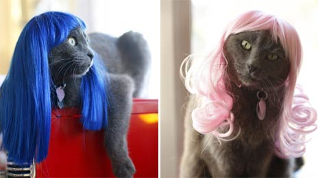 Cats in wigs