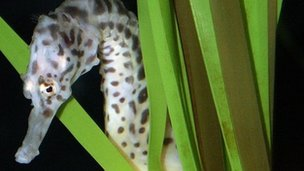 A potbellied seahorse