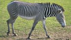 Zebra (Equus grevyi) (c) Journal of Experimental Biology