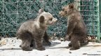 Orphaned bear cubs at rehabilitation centre (c) Karamanlidis/ARCTUROS