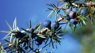 Juniper bush