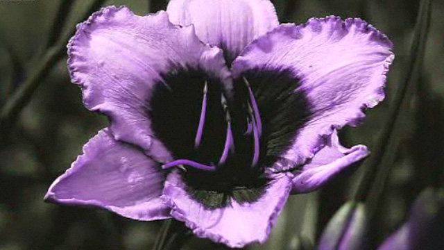 Flower viewed through an ultra-violet camera