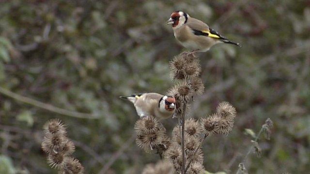 Goldfinch on farmland