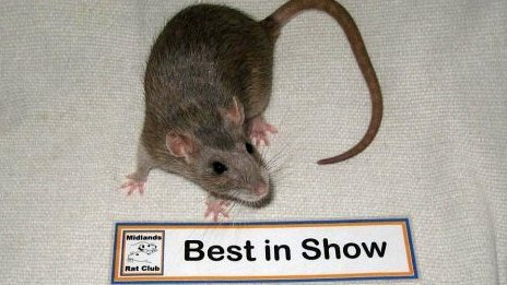 Rat wins Best in Show at The Midlands Rat Club rat show