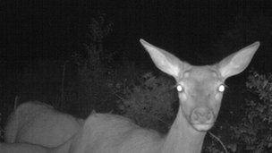 Deer caught on camera by night vision cameras