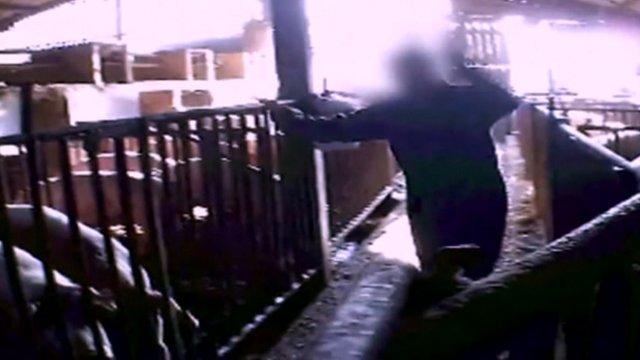 Secret filming at pig farm
