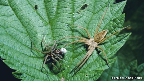Male Nursery web spider presents gift to female Pisaura mirabilis (c) PREMAPHOTOS / NPL