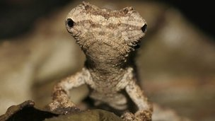 A portrait of an adult specimen of one of the newly discovered mini chameleons, Brookesia desperata (c) Frank Glaw