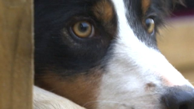 Border collies are becoming more and more popular overseas.