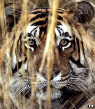 Tiger (Image: AFP)