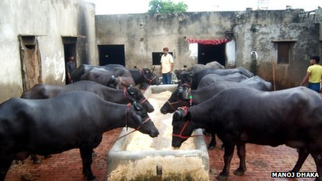 Murrah buffaloes in a dairy in Haryana 