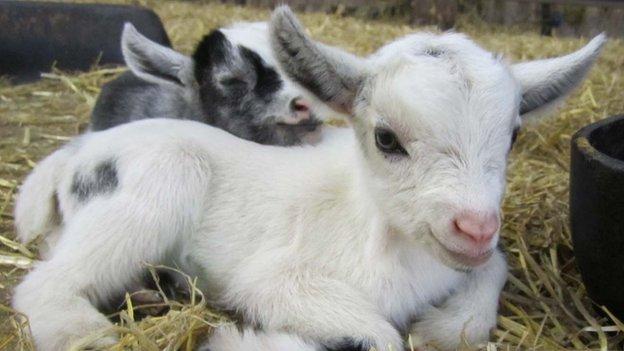Goat kids (c) Elodie Briefer