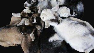 A creche of goat kids (c) Elodie Briefer