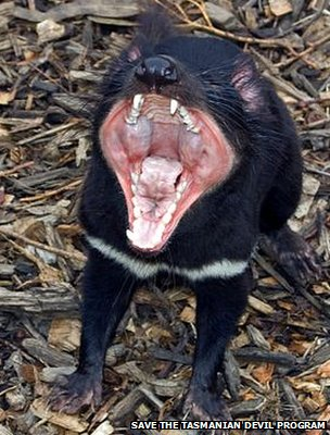 Tasmanian devil (Image: Save the Tasmanian Devil Program)
