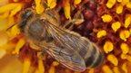 Bee on a dahlia (c) LASI