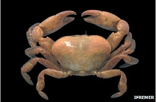 Deep vent crab