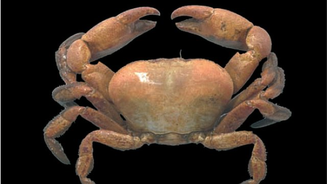 Deep sea crab