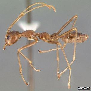 Tropical weaver ant (Oecophylla smaragdina) (c) Antweb