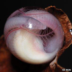 Chikilidae egg