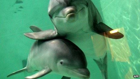 http://news.bbcimg.co.uk/media/images/58625000/jpg/_58625953_dolphins3jpg.jpg