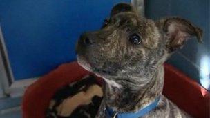 Staffordshire Bull Terrier in kennels