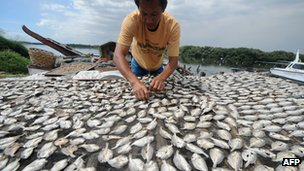 A fisherman arranges dried fishes