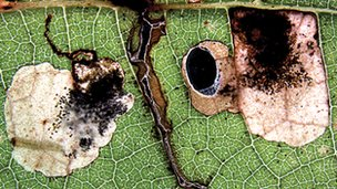 Damage to leaves caused by new species of leafminer moth (c) NCB Naturalis