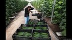 Man at cucumber greenhouse